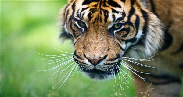 Legenda Klasik Harimau Di Minangkabau Jpnn Com